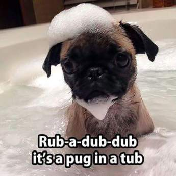 Pug in a Tub