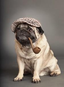 Irish Pug